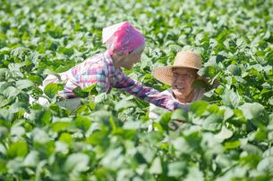 畑で枝豆を収穫するシニア夫婦の写真素材 [FYI02829764]