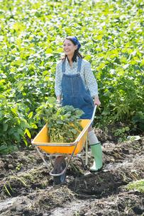 畑で枝豆を収穫する女性の写真素材 [FYI02829779]