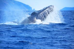 ザトウクジラのヘッドスラップの写真素材 [FYI02829788]