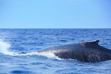 ザトウクジラのアップの写真素材 [FYI02829833]