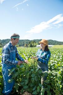 畑で枝豆を収穫する中高年夫婦の写真素材 [FYI02829995]