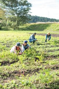 畑で人参を収穫する娘2人と両親の写真素材 [FYI02830008]