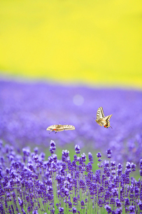 飛翔するキアゲハとラベンダーの花畑の写真素材 [FYI02830015]