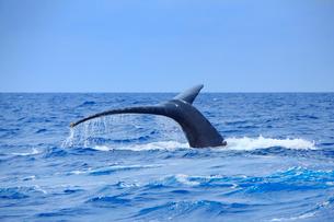 ザトウクジラのプルークアップダイブの写真素材 [FYI02830127]
