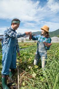 畑でサツマイモを収穫する中高年夫婦の写真素材 [FYI02830199]