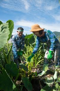 畑で里芋を収穫する中高年夫婦の写真素材 [FYI02830234]