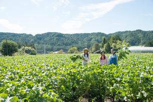 畑で枝豆を収穫する女性三人の写真素材 [FYI02830281]