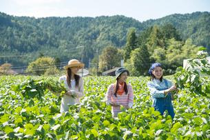 畑で枝豆を収穫する女性三人の写真素材 [FYI02830363]