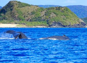 ザトウクジラの親子とエスコートの写真素材 [FYI02830422]