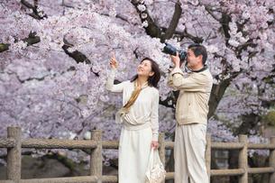 花見して写真を撮る中高年夫婦の写真素材 [FYI02830468]