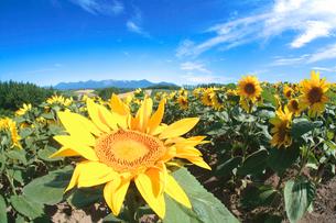 ヒマワリ畑と十勝連峰の写真素材 [FYI02830652]