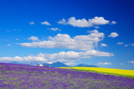 ラベンダーと菜の花畑の写真素材 [FYI02830807]