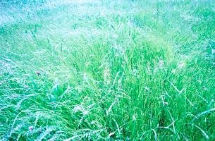 風にそよぐ草原の写真素材 [FYI02830920]