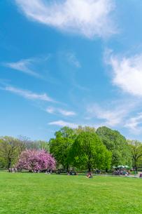 セントラルパーク グレートローン新緑の中に咲く桜の木の写真素材 [FYI02830941]