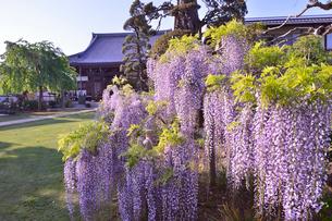 フジの花咲く西光院境内の写真素材 [FYI02831303]