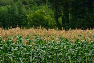 トウモロコシ畑の写真素材 [FYI02831445]