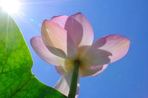 千葉公園のハスの花と青空の写真素材 [FYI02831448]