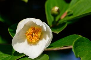 ヒメシャラの花の写真素材 [FYI02831475]