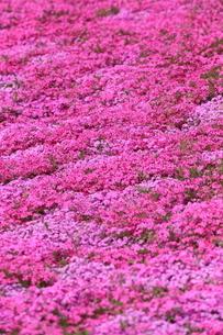 芝桜の写真素材 [FYI02831529]