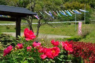 宝塚長谷ボタン園 牡丹の花とこいのぼりの写真素材 [FYI02831609]