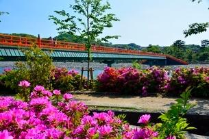 宇治 宇治川に架かる朝霧橋とツツジの写真素材 [FYI02831631]