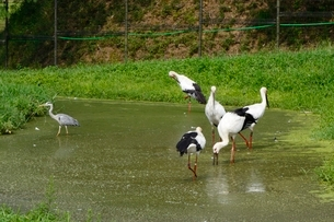 豊岡,コウノトリの野生復帰の拠点施設の写真素材 [FYI02831721]