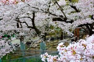 池田,満開の桜と五月山動物園の写真素材 [FYI02831839]