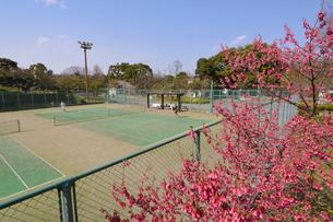 日比谷公園のカンヒザクラとテニスコートの写真素材 [FYI02831955]