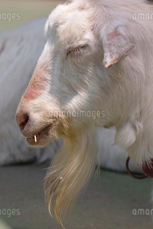 居眠りするヤギの写真素材 [FYI02831970]