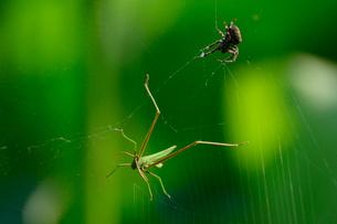 オニグモの巣にかかったショウリョウバッタの写真素材 [FYI02832349]