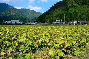 アズキの栽培の写真素材 [FYI02832406]