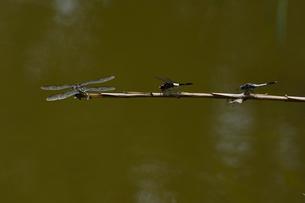 小枝に止まるトンボ(左からウチワヤンマ,コシアキトンボ,シオカラトンボ)の写真素材 [FYI02832441]