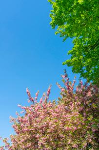 グレートローンに咲く桜と新緑と青空。の写真素材 [FYI02832865]