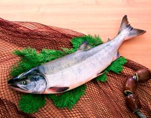 鮭の写真素材 [FYI02832884]
