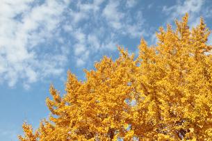 銀杏の紅葉と秋空の写真素材 [FYI02833002]