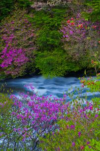 トウゴクミツバツツジ咲く竜頭の滝の写真素材 [FYI02833089]
