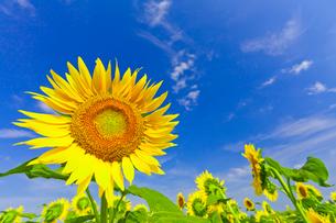 夏空とヒマワリの写真素材 [FYI02833096]