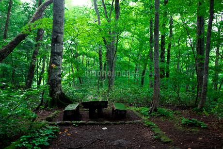 蔦温泉沼めぐりのブナ林と木のベンチの写真素材 [FYI02833121]