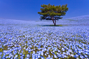 国営ひたち海浜公園のネモフィラの咲く丘の写真素材 [FYI02833200]