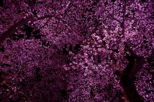 千鳥ヶ淵の桜の写真素材 [FYI02833244]