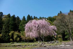 一本桜の写真素材 [FYI02833295]