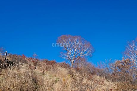 ダケカンバの木の写真素材 [FYI02833319]
