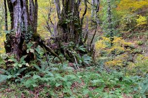 カツラ巨木群 カツラ門の写真素材 [FYI02833344]