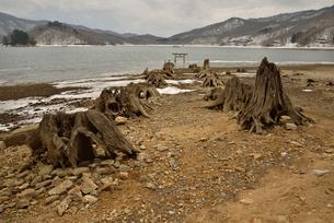 湖上に現れた大山祗神社参道脇の伐株と鳥居の写真素材 [FYI02833365]