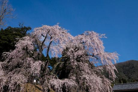 妙祐寺のしだれ桜の写真素材 [FYI02833372]