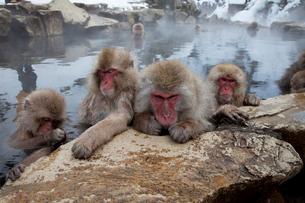 温泉に入るサルの写真素材 [FYI02833382]
