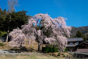 妙祐寺のしだれ桜の写真素材 [FYI02833587]