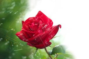 薔薇と音符の写真素材 [FYI02833882]