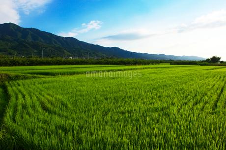 田んぼと耳納連山の写真素材 [FYI02833952]