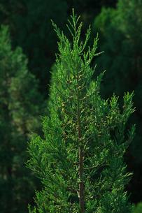 杉の写真素材 [FYI02834128]